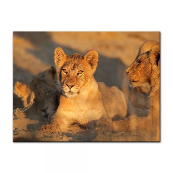 Leinwandbild - Afrikanisches Löwenbaby