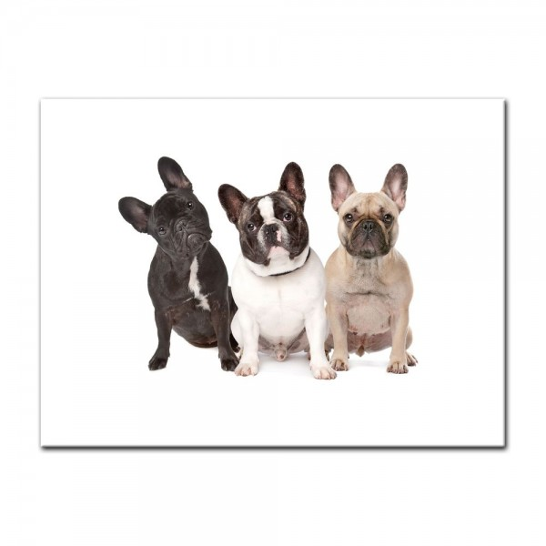 Leinwandbild - Drei französische Bulldoggen