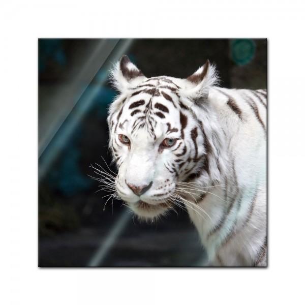 Glasbild - Weisser Tiger