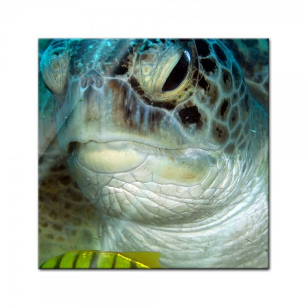 Glasbild - Schildkröte im Roten Meer
