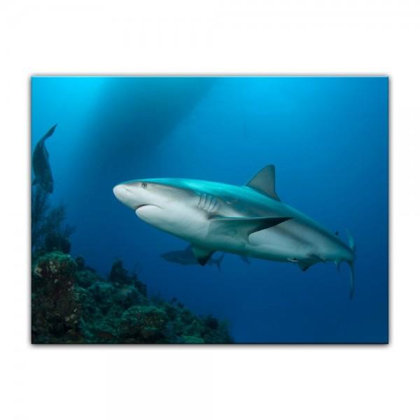 Leinwandbild - Riffhai