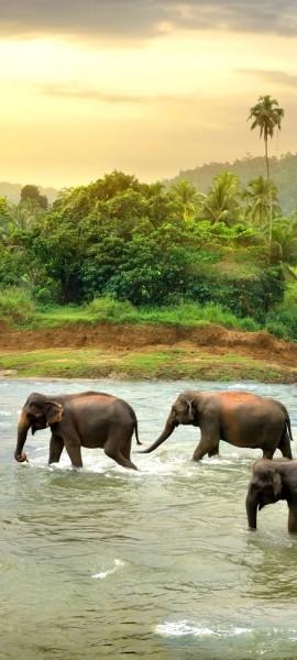 Türtapete selbstklebend Elefanten im Fluss 90 x 200 cm Elefant Sri Lanka Tropisch Nationalpark Herd