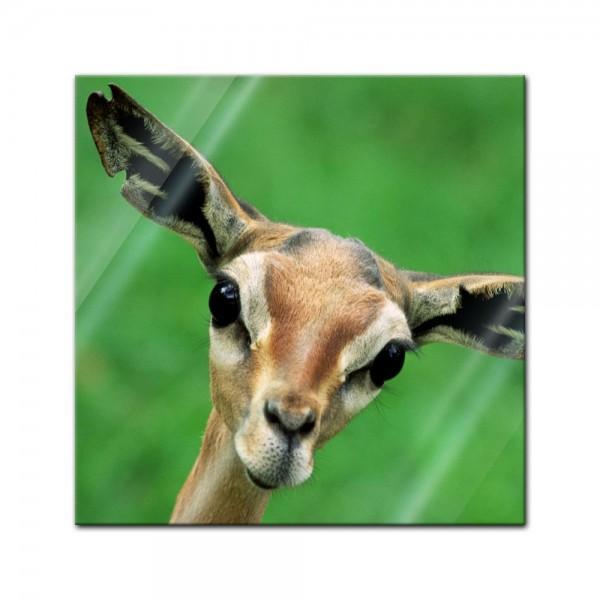 Glasbild - Giraffengazelle