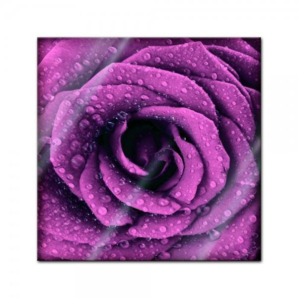 Glasbild - Lila Rose mit Tropfen