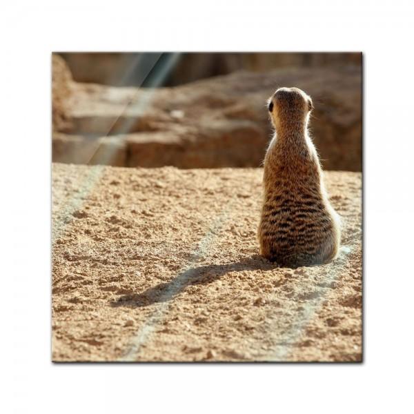 Glasbild - Einsames Erdmännchen