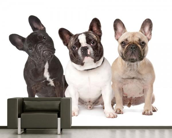 Fototapete - Drei französische Bulldoggen