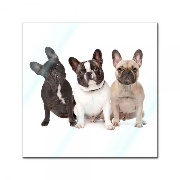 Glasbild - Drei französische Bulldoggen