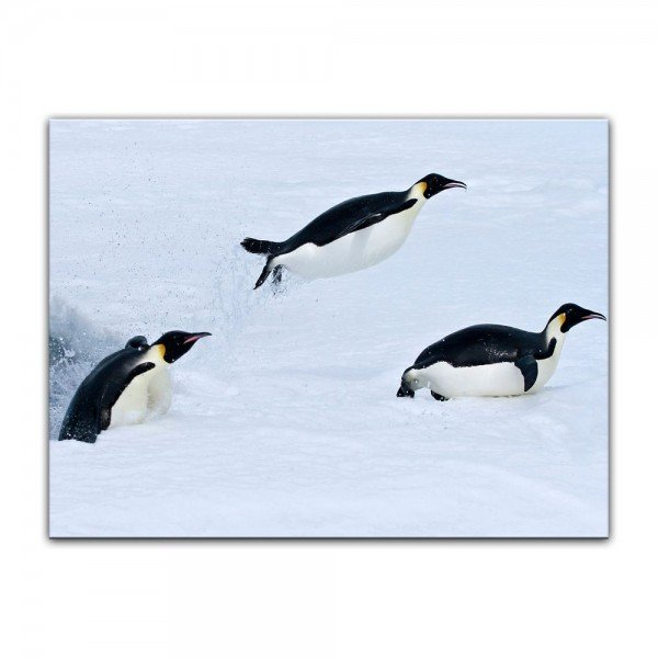 Leinwandbild - Pinguin II