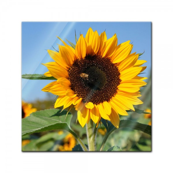 Glasbild - Sonnenblume mit Biene