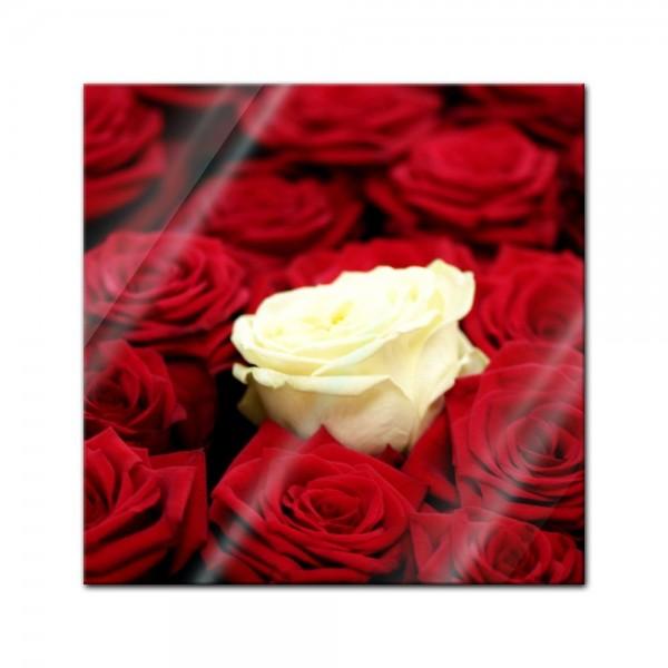 Glasbild - Weisse Rose