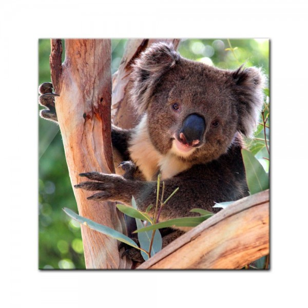 Glasbild - Koalabär