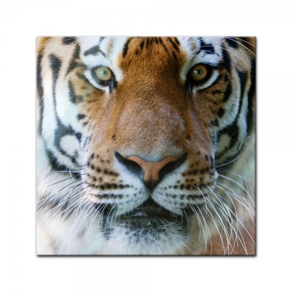 Glasbild - Tigergesicht