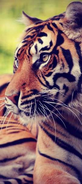 Türtapete selbstklebend ruhender Tiger Vintage 90 x 200 cm Raubkatze Großkatze Asien Streifenmuster